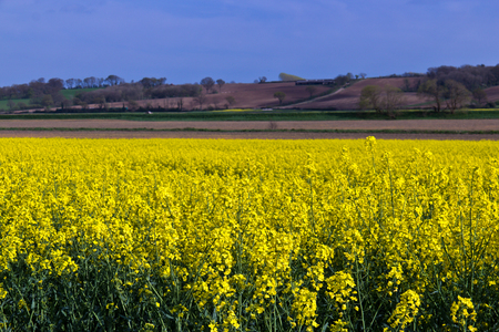 producing: Yellow rapeseed field producing vegetable oil