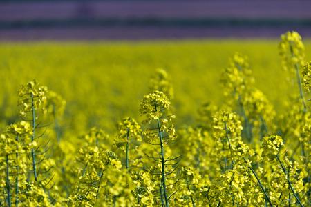 Gelbe Rapsfeld Herstellung Pflanzen�l Lizenzfreie Bilder