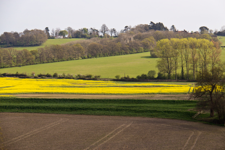 rappi: Yellow rapeseed field producing vegetable oil