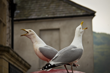 and opposite: Two seagull birds chirping opposite to each other