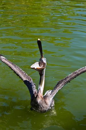 Pelican a large water bird of the Pelecanidae family Banco de Imagens