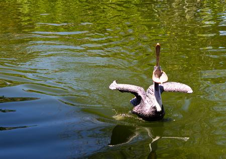 Pelican a large water bird of the Pelecanidae family Фото со стока