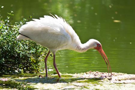 distinctive: American White Ibis with its distinctive white beak