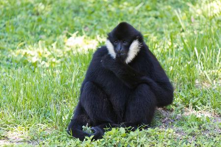 primates: White-cheeked spider monkey Stock Photo