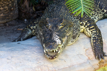 prowl: Large crocodile on the prowl