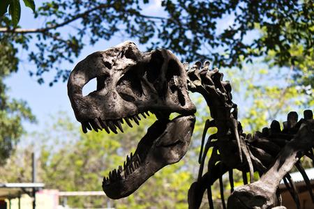 tyrannosaurus rex: Fossil of a Tyrannosaurus rex Stock Photo