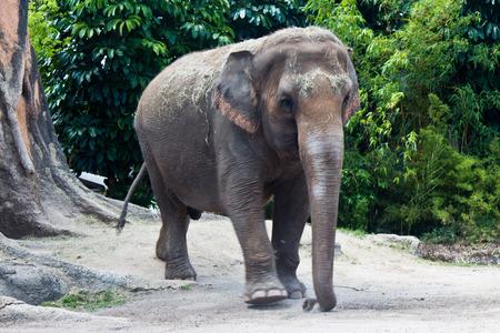 asian elephant: Asian Elephant - Elephas Maximus