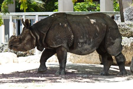 Lesser one-horned rhinoceros also known as a Javan rhinoceros Stok Fotoğraf