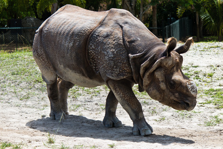 Lesser one-horned rhinoceros also known as a Javan rhinoceros 스톡 콘텐츠