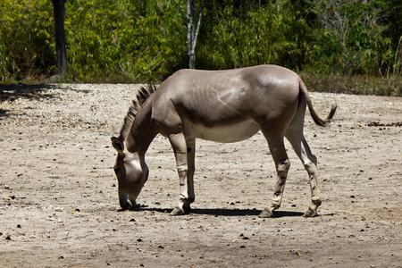 Sommali Wild Ass - Equus africanus somaliensis