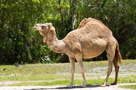 dromedary: Dromedary camel also know as Arabian Camel and Indian Camel Stock Photo