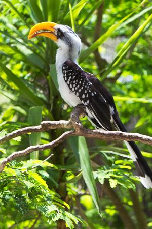 hornbill: northern yellow-billed hornbill