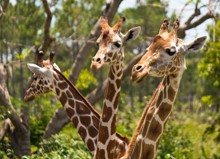 reticulata: Group of Reticulated Giraffes