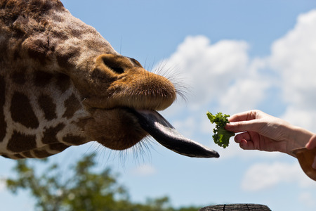 reticulata: Reticulated Giraffe being fed by a woman Stock Photo