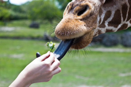 somali giraffe: Reticulated Giraffe being fed by a woman Stock Photo