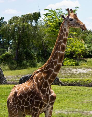 Reticulated Giraffe - Giraffa camelopardalis reticulata Stock Photo
