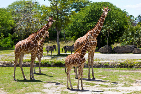 reticulated: Group of Reticulated Giraffes