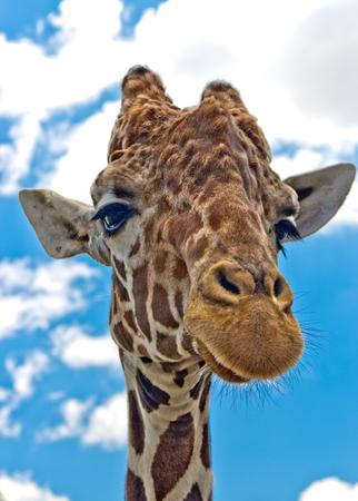 camelopardalis reticulata: Portrait of a reticulated giraffe