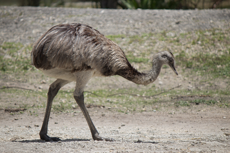 flightless bird: Rhea Americana - a flightless bird