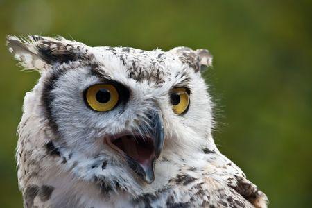 Snowy Owl Zdjęcie Seryjne