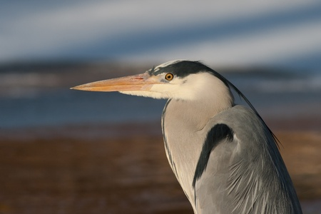 Heron Stock Photo - 12620582