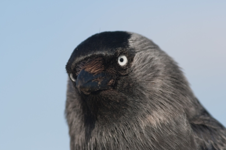 Close-up of a Western Jackdaw photo