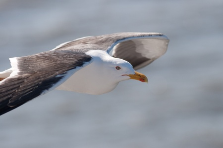 Lesser Black-backed Gull in flight Stock Photo - 13842414