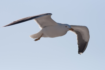 Lesser Black-backed Gull in flight
