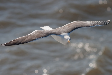 Lesser Black-backed Gull in flight Stock Photo - 13842418