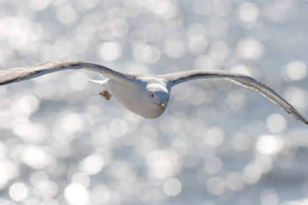 Lesser Black-backed Gull in flight Stock Photo - 13842415