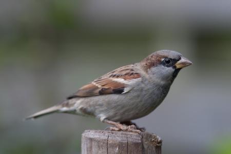 Housesparrow