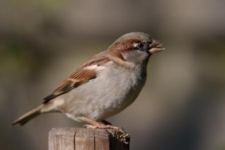 Housesparrow sitting
