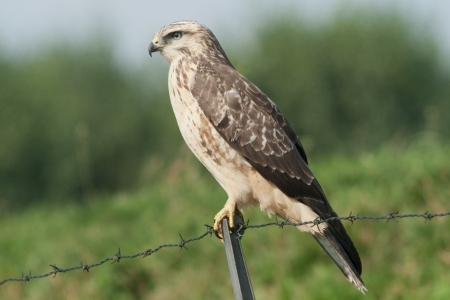 Buzzard sitting  photo