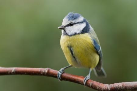 nido de pajaros: Tit azul que se sienta en una rama