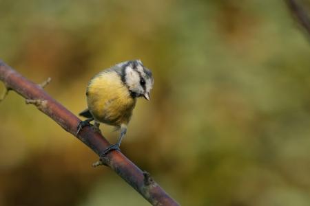 Great tit sitting on a branch Zdjęcie Seryjne