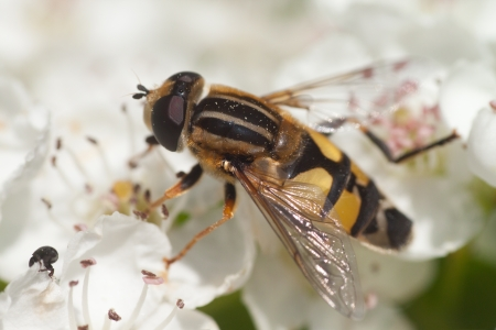 Hoverfly on a white flower