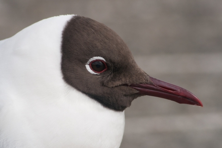 white headed: Closeup of a black-headed gull Stock Photo