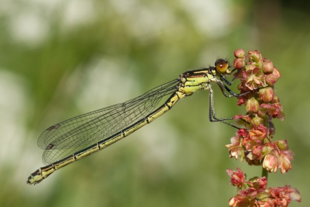 Damselfy resting on a plant with a green background