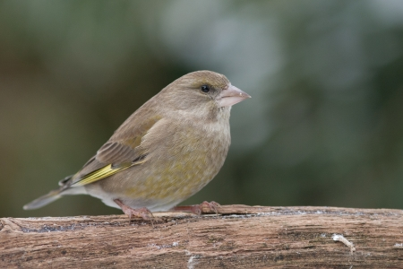 Greenfinch sitting on a branch