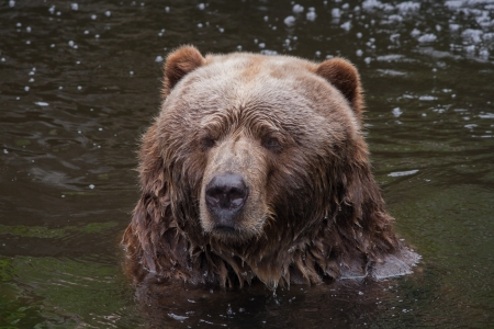 Head of a brown bear in the water