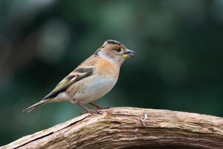 Brambling  finch  sitting on a branch