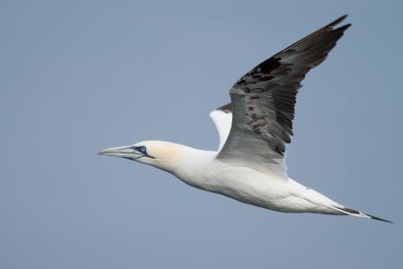 Gannet  adult  flying in the blue sky