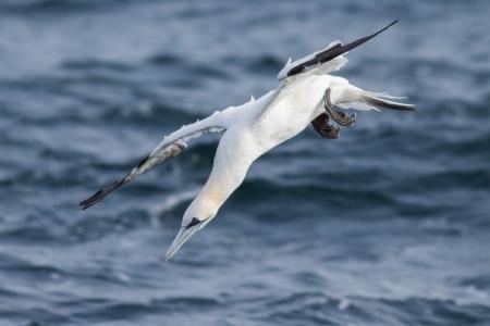 Gannet  adult  diving into the sea Zdjęcie Seryjne