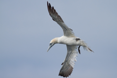 Gannet diving for food above the North Sea
