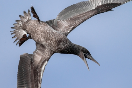 Young gannet diving for food with beak wide open