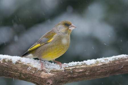 Greenfinch  finch  sitting on a snowy branch in the winter