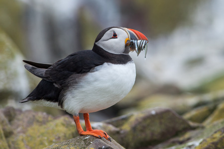 Puffin sitting on a rock with many fishes