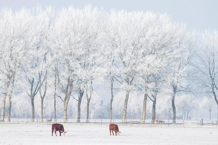 Two cows standing in the snow Zdjęcie Seryjne