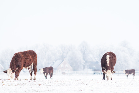 Four cows standing on the snowy meadow in an ice cold winter Zdjęcie Seryjne