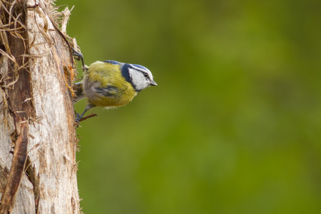 Blue tit sitting on a tree looking at the right with a green background